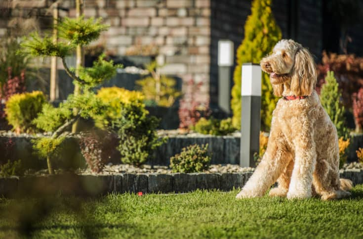 Tan Color Goldendoodle Dog Sitting Down In Backyard Area Of House And Attentively Looking Ahead.
