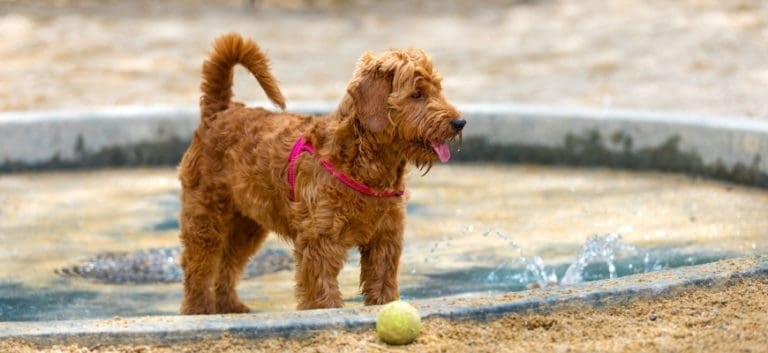 Mini Goldendoodle playing and his toy ball