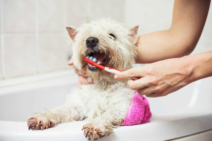 Home bathing and teeth brushing cute west highland white terrier dog