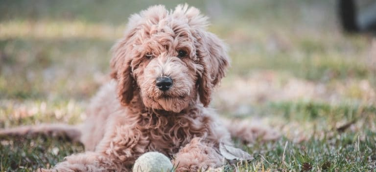 Goldendoodle with a ball in the ground.