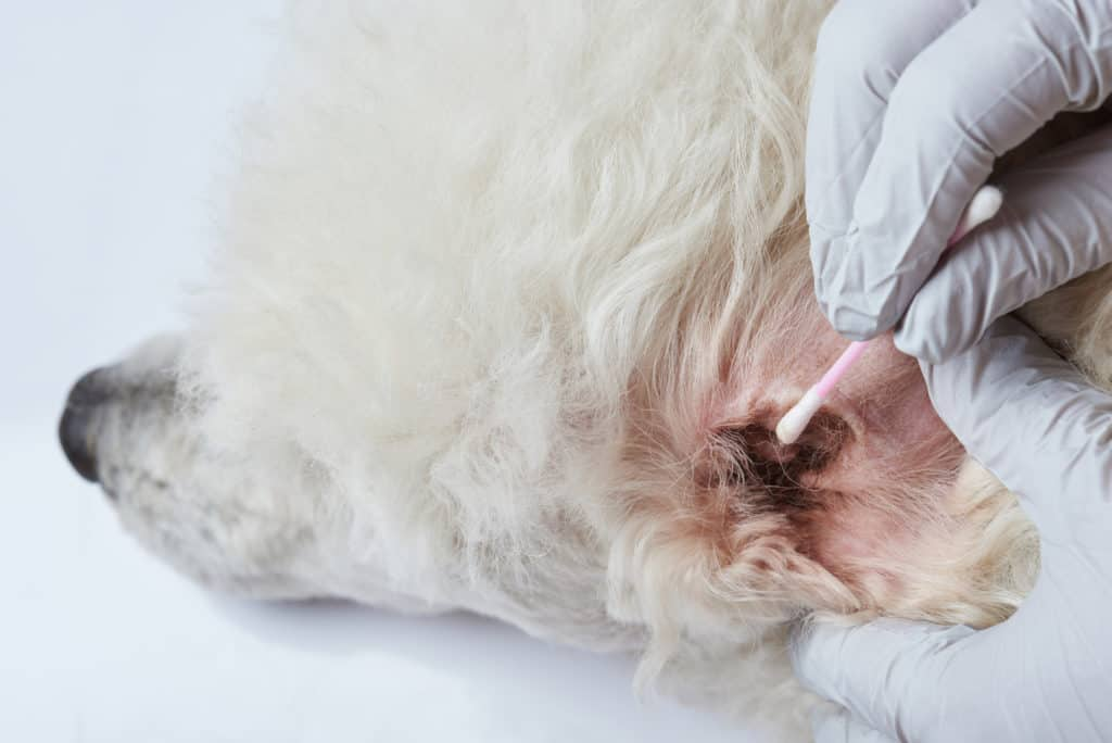 Dog veterinary theme. Cleaning poodle dog ear from infection