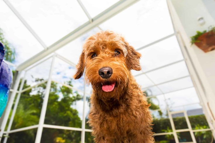 wet Miniature goldendoodle looking at the camera.