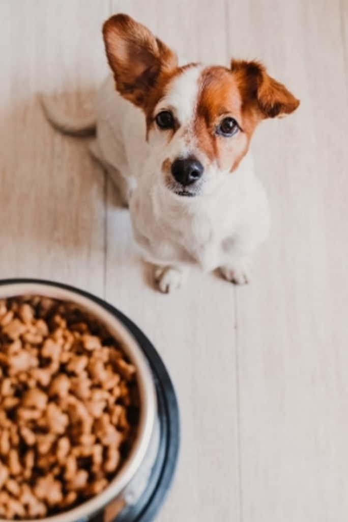 Jack Russell Dog Waiting for Food at Home