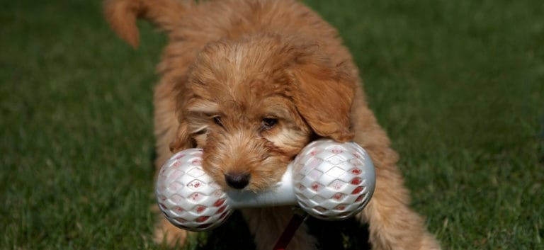 Goldendoodle clutching toy in his mouth while playing