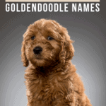 300 Popular, Adorable, And Creative Goldendoodle Names - Pin