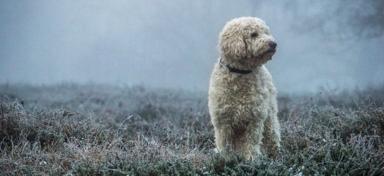 Cream color Goldendoodle standing on grass