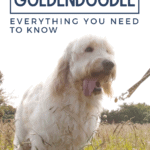 English Teddy Bear Goldendoodle - Everything You Need To Know - pin