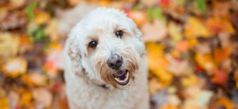 English Teddy Bear Goldendoodle in blurry background