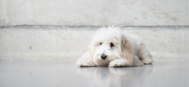 English Teddy Bear Goldendoodle lying on the floor