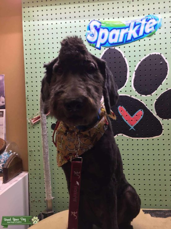 Goldendoodle in a Mohawk haircut