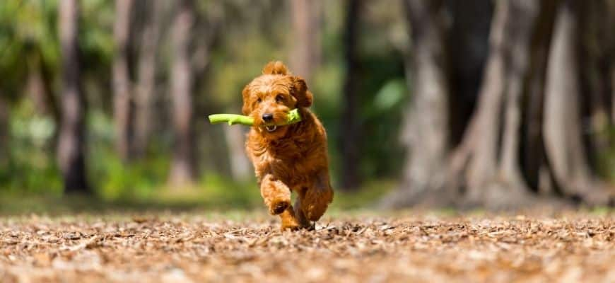 Goldendoodle running biting a stick