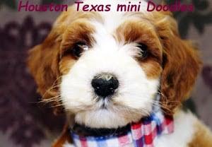 Houston Texas Mini Doodles