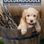 Teacup, Toy, or Mini Goldendoodle - Size, Weight, and Care Guide - Pin