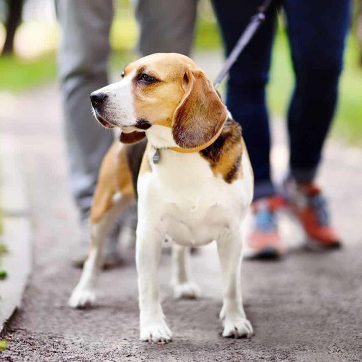 pet dog walking