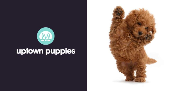 uptownpuppies logo and a goldendoodle puppy
