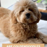 Are Goldendoodles Hypoallergenic - Pin