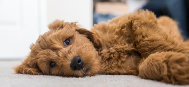 Brown goldendoodle lying on floor.