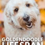 Goldendoodle Lifespan - How Long Do Goldendoodles Live? - pin