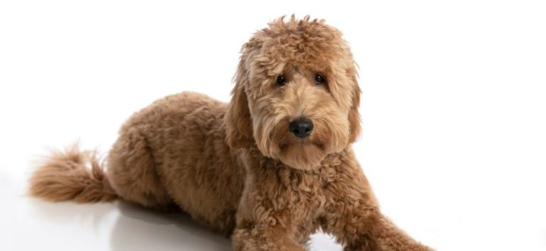 Goldendoodle lying in white background