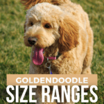 Goldendoodle Size Ranges: Differences Between Toy, Mini & Standards - pin