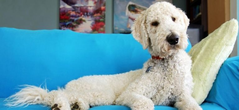 Goldendoodle sitting on the blue couch