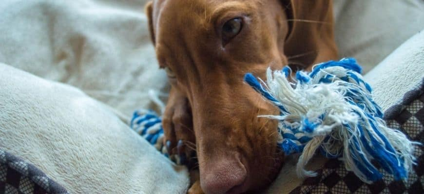Dog playing a toy