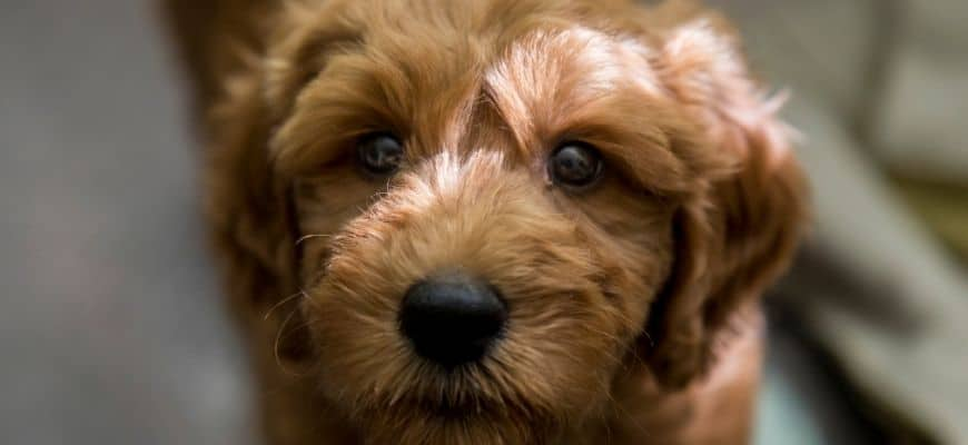 Goldendoodle in blurry background