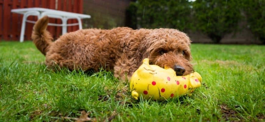 Dog lying on the grass with toy on its mouth