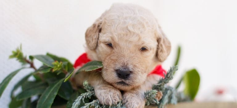 a goldendoodle puppy above the plants