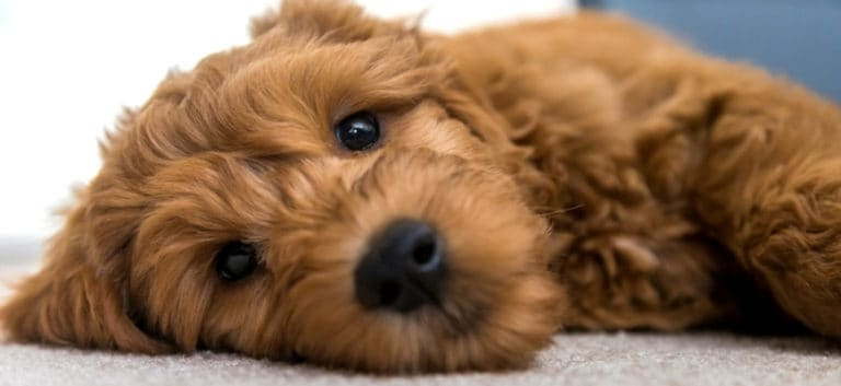 Brown goldendoodle puppy lying on rug.