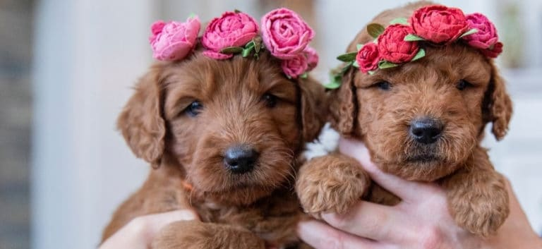 Two cute goldendoodle puppies wearing rose headbands