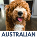 Australian Goldendoodle - Price, Size, And Other Breed Information - pin