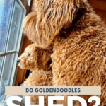Do Goldendoodles Shed? Hypoallergenic Fact or Myth? - pin