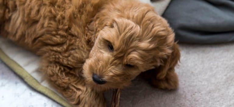 Goldendoodle lying on carpet