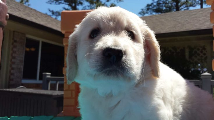This is a cream colored F1 goldendoodle puppy.