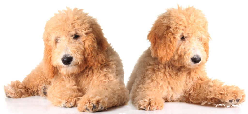 Two golden doodle puppies isolated on white.