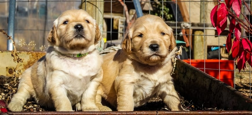 Two cute goldendoodle puppies