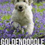 Goldendoodle Temperament And Personality - What To Expect? - pin