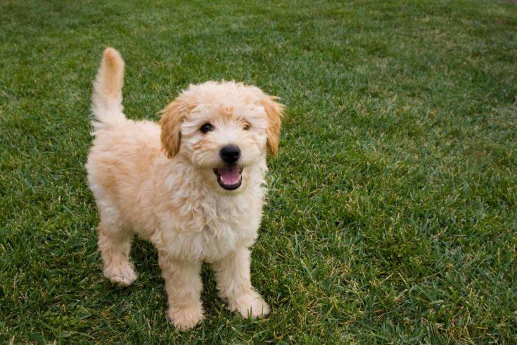 A cute little Goldendoodle puppy.