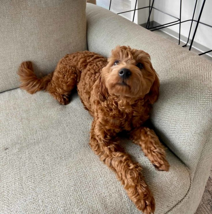 Happy Brown Goldendoodle in a couch