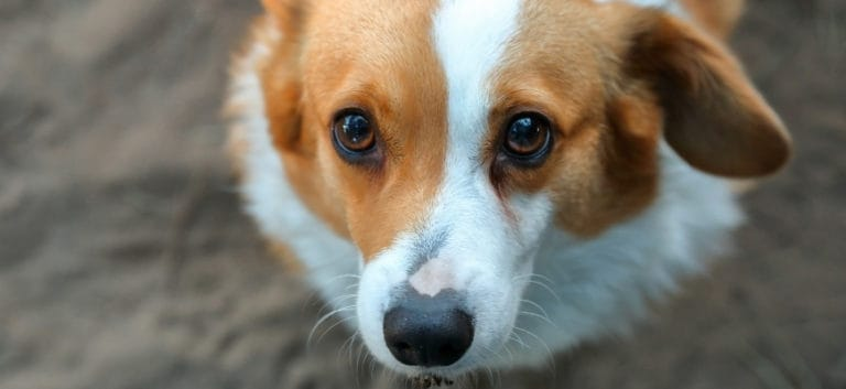 a closeup shot of a staring dog