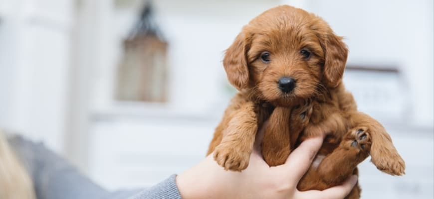 cute goldendoodle puppy holds by a woman's hand.