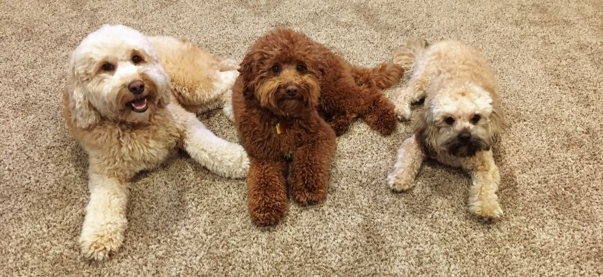 3 goldendoodles lying down