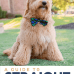A Guide To Straight Hair Goldendoodles - pin