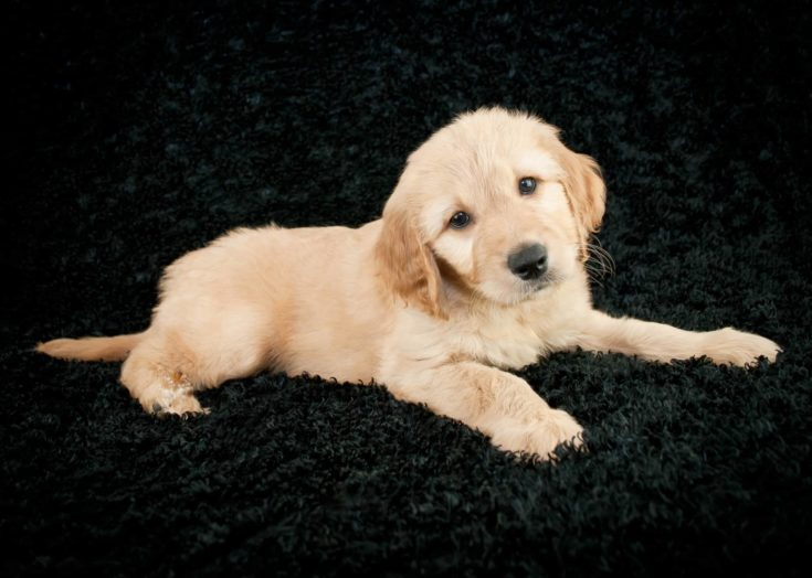 A cute little Goldendoodle puppy laying on a black background.