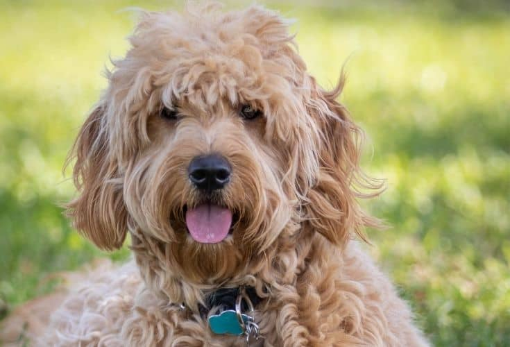 Close up goldendoodle on grass