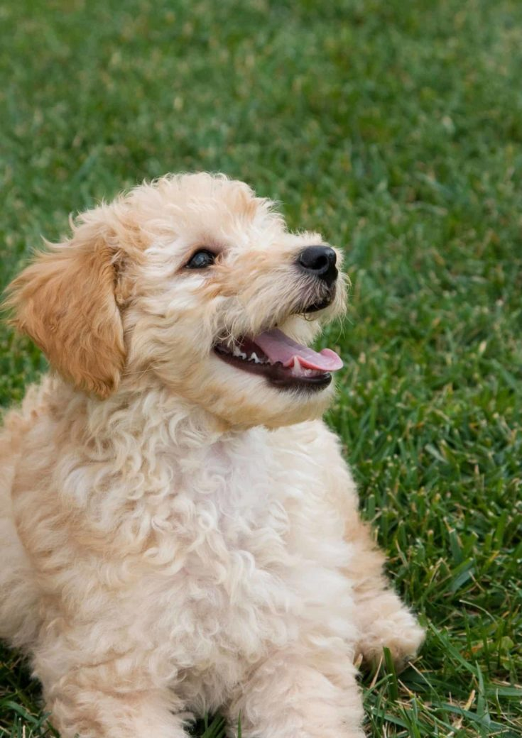 Mini golden puppy close up