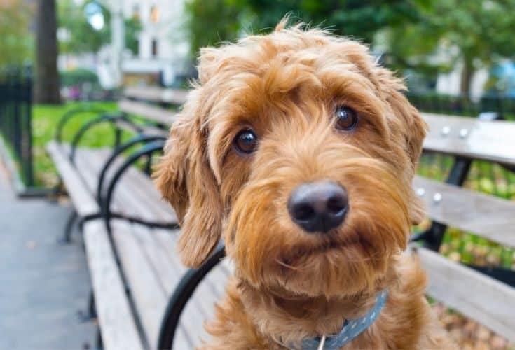 Goldendoodle puppy on a bench close up