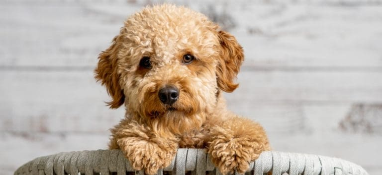 mini goldendoodle puppy looking at the camera
