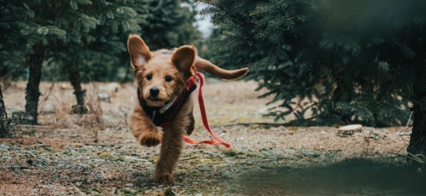 Goldendoodle Running near Trees
